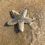 @instagram: Just a Starfish washed up ashore the beach at Mobor Beach Goa. #goa#mobor#beach#cavelossim#arabian#sea#land#water#shore#starfish#selcete#private#island#beautiful#creature#spikes#beachphotography#conch#shells#blog#blogger#photographer#hobby#passion