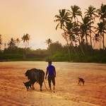 @instagram: Rush hour in Goa #beach #sunset #eveningcommute #waterbuffalo #beachdoglife #benaulim #arabiansea #goa #india