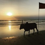 @instagram: Just a cow enjoying a beautiful beach sunset... #benaulim #benaulimbeach #beach #beachesofgoa #southgoa #goa #india #sunset #goldenhour #sand #peaceful #cowsofinstagram #missyoudad