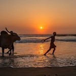 @instagram: You may see a lot of unusual sights on a beach.....but a magnificent specimen of a bull taking a stroll against a backdrop of a spectacular sunset ain't one of them ????  #incredibleindia #Goa #benaulim #sunset #ilovesunsets #sonsofbeaches #nikon #wanderl