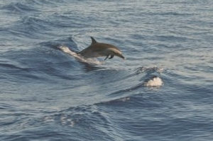 Dolphins in Goa