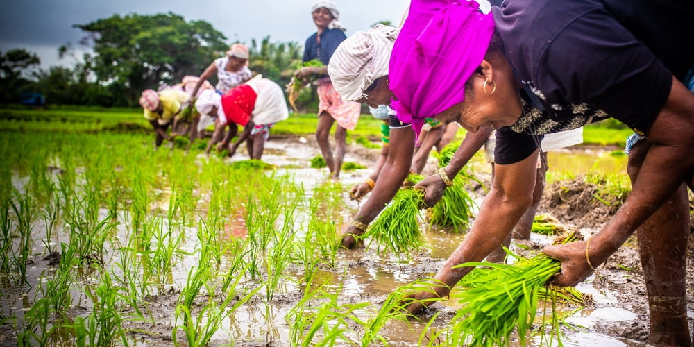 Rice planting in Monsoon Goa